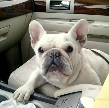 French Bulldogs and French Bulldog Mix-Breeds