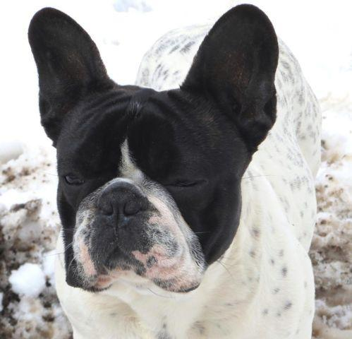 french bulldog for sale mn french bulldogs from sonlit for sale in farmington 586