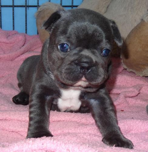 french bullies for sale