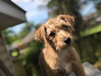 French Fry Wirehaired Fox Terrier Puppy Male For Sale In Marrero