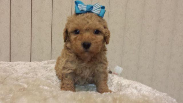 *** FRENCH POODLE PUPPIES FEMALES ***