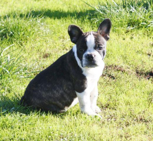 Frenchton Faux Frenchie Male Puppy Ready Now French