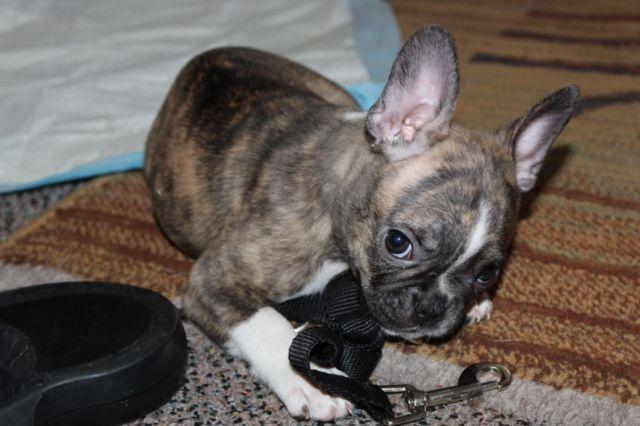 French bulldog breeder sacramento