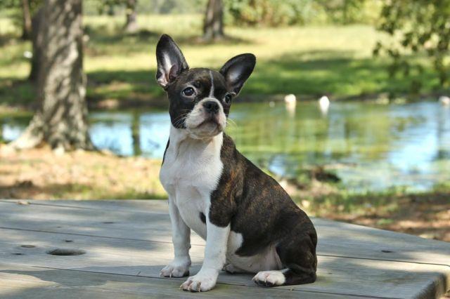frenchton puppy french bulldogboston terrierfemale  sale   waverly texas classified
