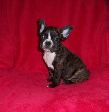 Frenchton Puppy French Bulldog X Boston Terrier For Sale In
