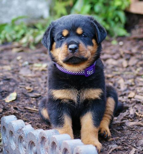 Rottweiler Puppies For Sale In Virginia Beach Virginia Classifieds