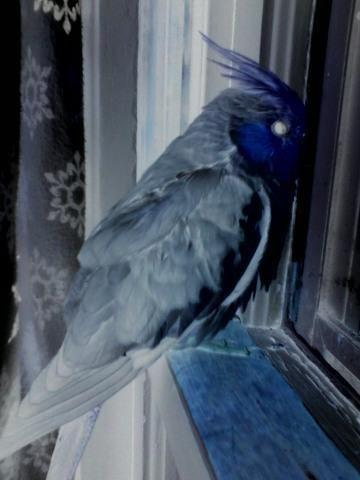 Friendly Female Grey Pearl Pied Cockatiel For Sale In Lino Lakes Minnesota Classified