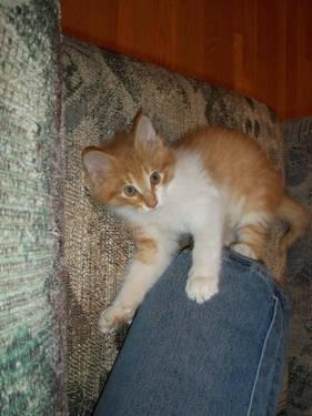 Friendly Male Kitten Long Haired Orange 3 Months Old For Sale