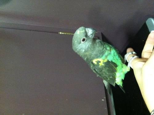 Friendly sweet Meyer's Parrot and cage needs new home for ...