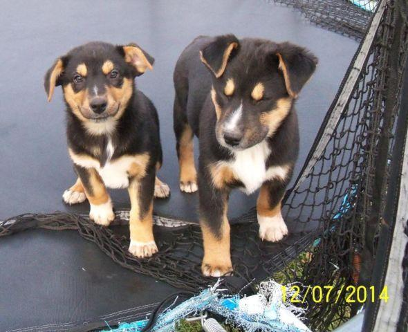 Friendly Texas Heeler Pups For Sale For Sale In Dayton Ohio Classified Americanlisted Com