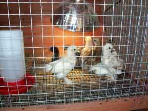 Frizzle Cochin Bantam Chicks - (Perry) for Sale in Macon