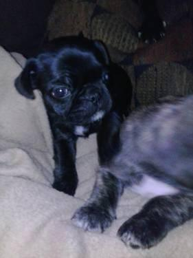 Pets And Animals For Sale In Girard Ohio Puppy And Kitten