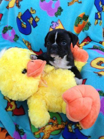 Frug Puppies French Bulldog X Pug Puppies For Sale In Baxter