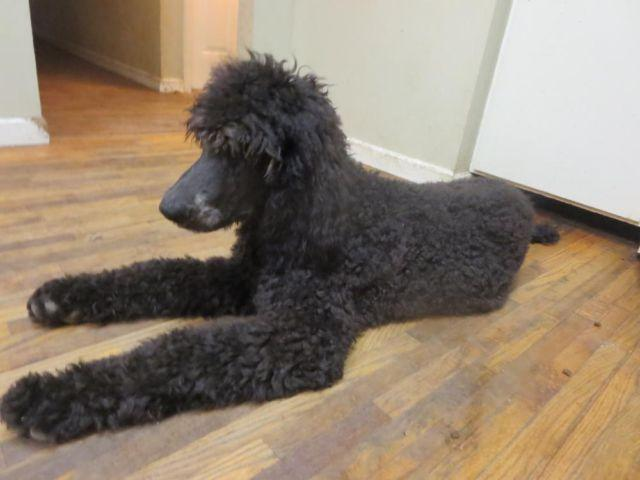 Full Akc Royal Standard Poodle For Sale In Knoxville
