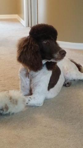 FULL AKC STANDARD POODLE