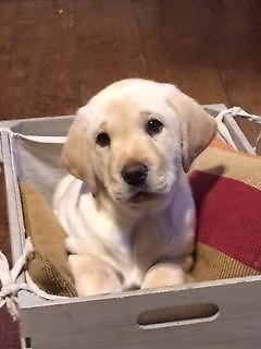 Labrador Puppies For Sale In San Antonio Texas