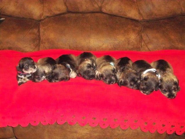 Full Blood Miniature Schnauzer Puppies For Sale In Blair Texas