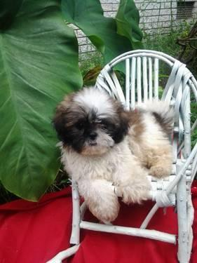 full blooded shih tzu full blooded adorable shih tzu puppies for sale in 8922