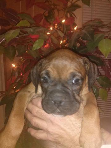 Full Blooded Boxer Puppies For Sale In Griffin Georgia Classified