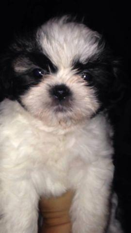 full blooded shih tzu full blooded female shih tzus for sale in clarion 9983