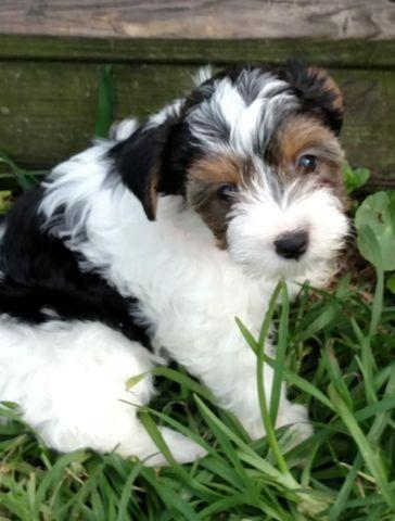 yorkie puppies for sale wilmington nc full blooded parti yorkie pup for sale for sale in 1613