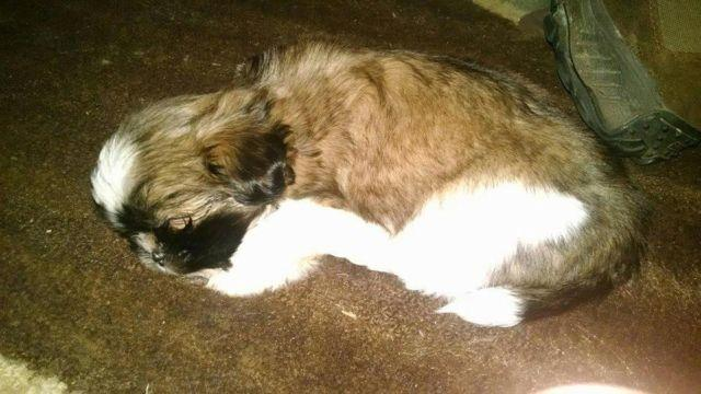 Full Blooded Shih Tzus For Sale For Sale In Clarion Pennsylvania