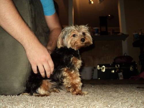 Full Blooded Yorkshire Terrier - 10 Months Old