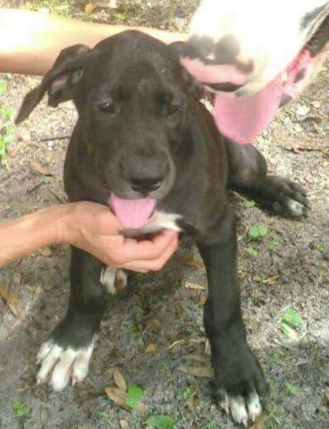 Full European Great Dane Puppy for Sale