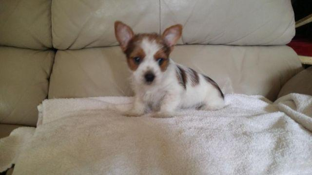 Full Party Yorkie Puppy Gold And White Male For Sale In Oak Island