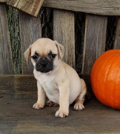 pug breeders mn fun little bug puppies pug boston lots of wrinkles so 4299
