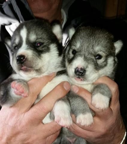 Kc registered siberian husky puppies for sale
