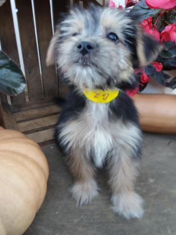 G2 Minnie, girl Morkie puppy
