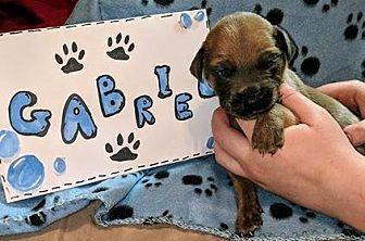 Gabriel Great Dane Puppy Male For Sale In Bullard Texas Classified