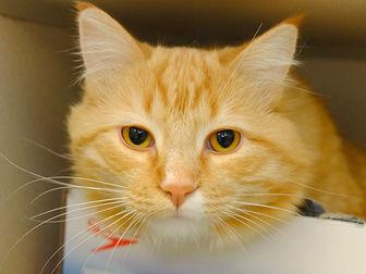 GARFIELD Domestic Mediumhair Adult Male
