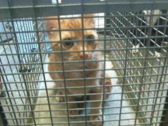 GARFIELD Domestic Shorthair Young Female