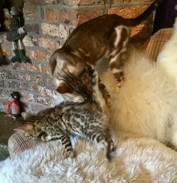 Gccf Reg' Bengal Kitten Ready Now