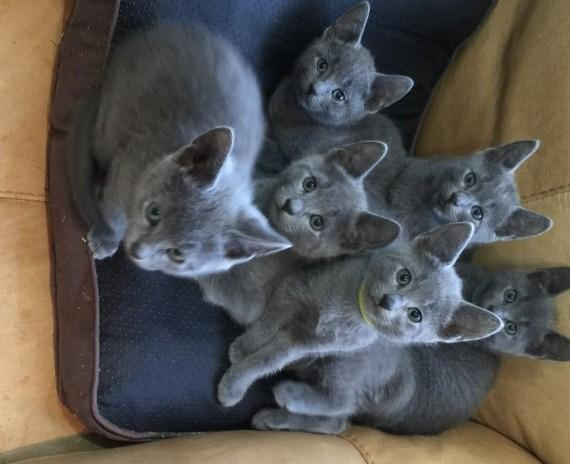 Blue Kittens For Sale : Gccf reg russian blue kittens available for sale in minneapolis