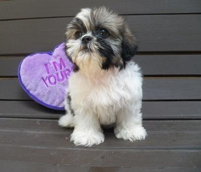 shih tzu puppies for sale indianapolis generous shih tzu puppies available to go now for sale in 9845
