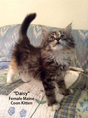 Tuftscoons Maine Coons Home Facebook