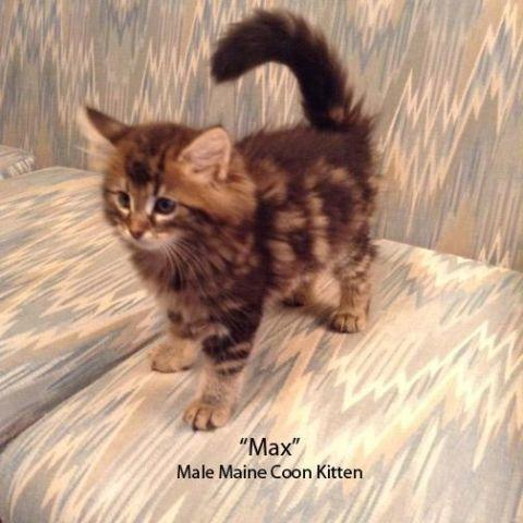 Maine coon kittens for sale in nyc