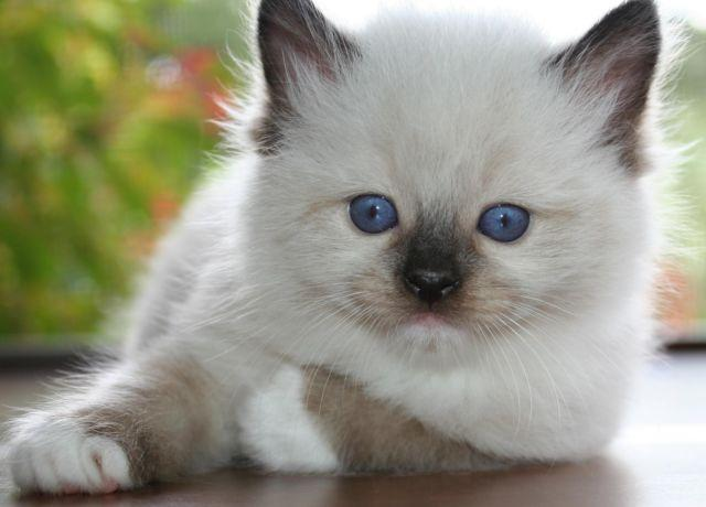 Genuine Ragdoll Kitten Kittens For Sale w/TICA Multiple