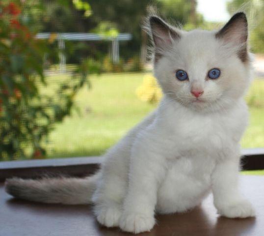 Ragdoll Cats Ragdoll Kittens Sunny Shores Cattery Florida