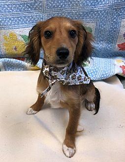 George Dachshund Puppy Male For Sale In Agate Beach Oregon