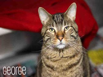 GEORGE Domestic Shorthair Adult Male