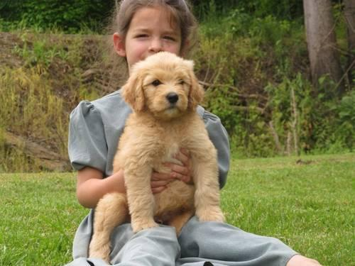 Apricot F1b Goldendoodle born from Standard Poodle Dam Goldie and F1b    F1b Apricot Goldendoodle