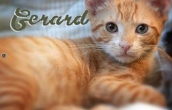 Gerard Domestic Shorthair Kitten Male