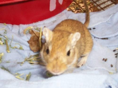 Gerbil - Bailey & Friends - Small - Adult - Male -