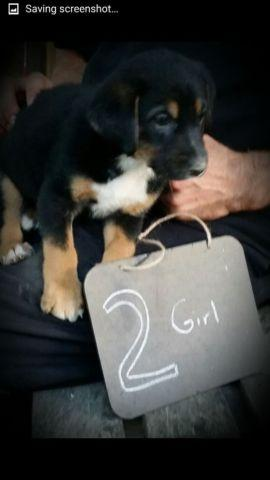 German Australian Shepherd Puppies-7weeks(only 4 left)