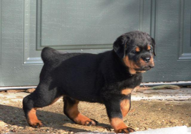 German Champion Rottweiler Puppy For Sale In Indianapolis Indiana