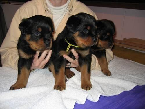 German Import Rottweiler Puppies For Sale In Middletown New York
